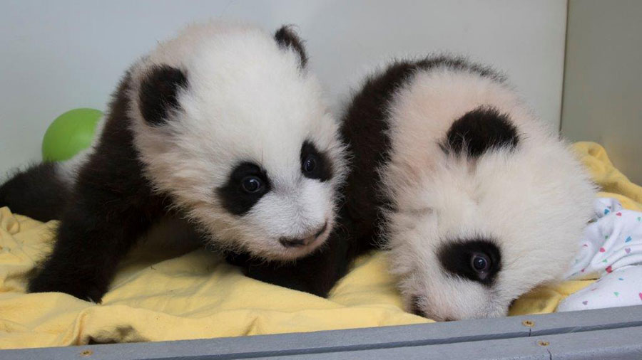 "Two giant panda cubs have been given names 100 days after their birth. Say hello to ""Ya Lun"" and ""Xi Lun""."