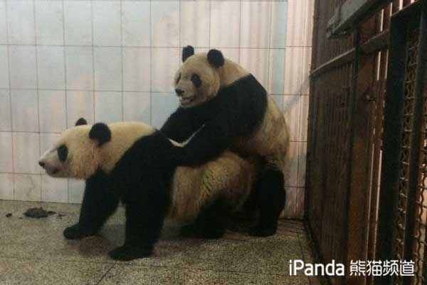 """大熊猫""""阳阳""""与""""苏琳""""进行自然交配"""