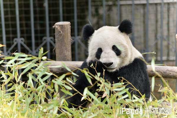 """大熊猫""""苏琳"""""""