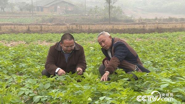 """林传政实验的无土免耕栽培土豆获得丰收 四川省自贡市荣县是农业大县,过去地少人多,一直是依靠传统农业""""靠天吃饭""""。而现在,荣县农村人口有50万,其中农村劳动力35万,但外出务工就有19万人。荣县面临着""""谁来种地?怎么种地?如何种地?""""的问题。。 2014年,为响应中国农业部 """"科教兴农、人才强农、新型职业农民国家""""的号召,荣县县委组织部和荣县农牧局联合启动了""""田园人才孵化器3111工程""""。专门培养新型职业农民,"""