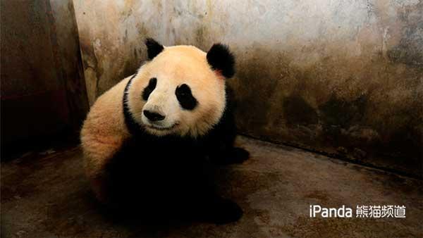 """大熊猫""""囡囡"""""""