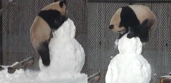 """""""大毛""""在雪中玩耍(图片来源:多伦多动物园)"""