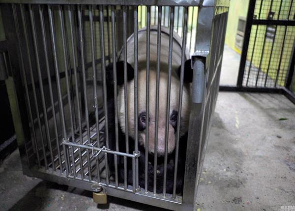 刚到成都,大熊猫对周围充满好奇