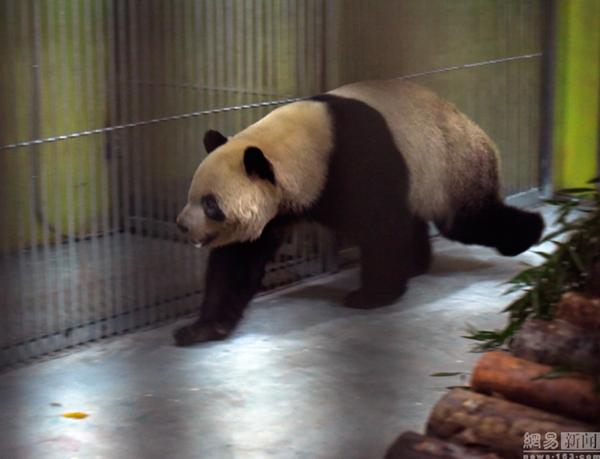 大熊猫探索着新的领地