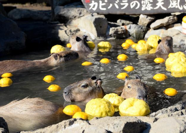 capybaras in a zoo in Nagano prefecture enjoyed the spa treatment