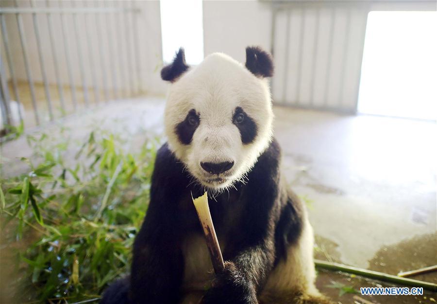 """Le panda géant """"Pan Pan"""" au Centre de conservation et de recherche pour les pandas géants à Dujiangyan, dans la province du Sichuan (sud-ouest de la Chine), le 15 juillet 2016."""