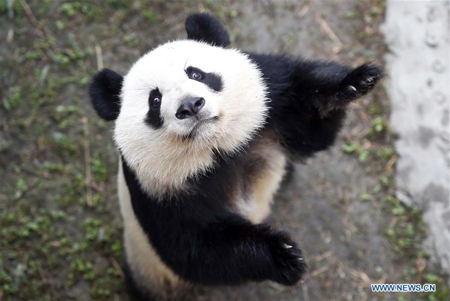 Le panda géant Meihuan s