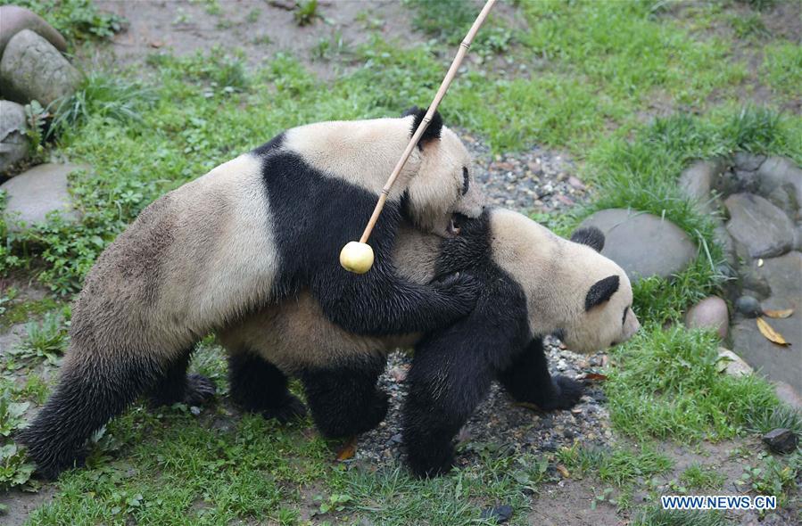 """Les pandas géants """"Yang Yang"""" et """"Su Shan"""" essaient un accouplement naturel à la base de Ya"""