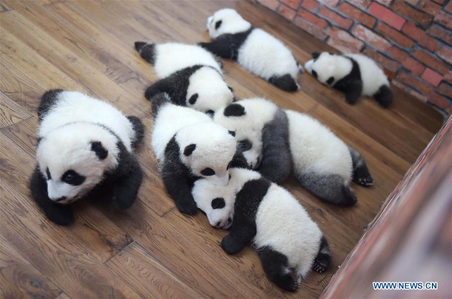 """Photo prise le 19 octobre 2016 montrant des bébés pandas géants dans une """"école maternelle de pandas géants"""" dans la Base de recherche et d"""