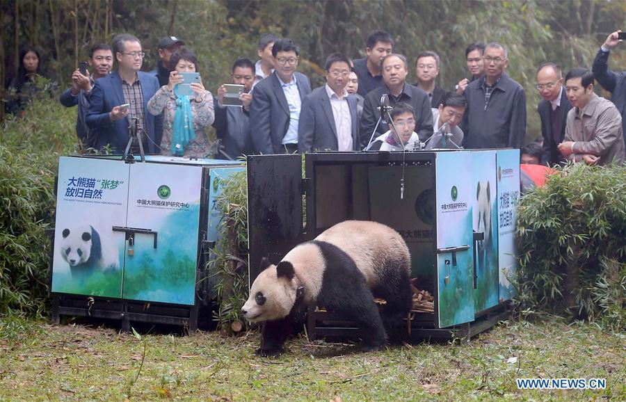 Hua Yan et Zhang Meng, deux femelles, sont nées respectivement en août 2013 et en juillet 2014 dans un centre de formation semi-sauvage dans la réserve naturelle de Wolong. Elles ont été relâchées dans la réserve naturelle de Liziping, le 20 octobre 2016.