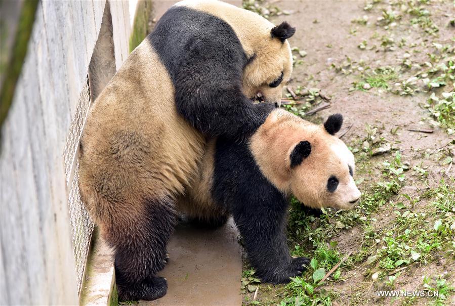 Les pandas géants Tai Shan (G) et Wen Yu se préparent à un accouplement naturel dans la Base des gorges de Bifeng du Centre chinois de protection et de recherche sur les pandas géants, à Ya
