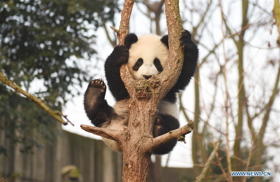 Un panda géant s