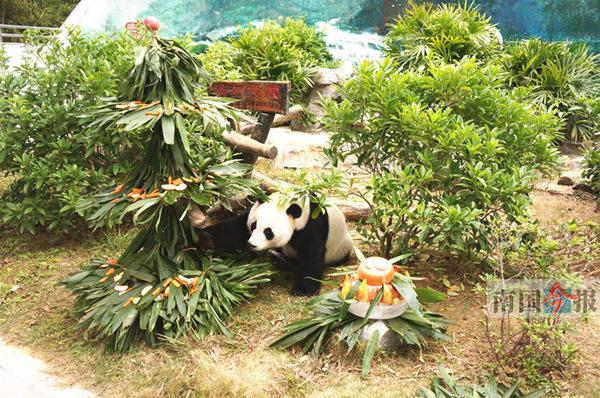 """大熊猫""""明浜"""""""