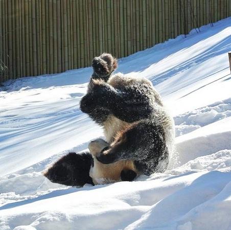 В зоопарке Торонто панда подралась со снеговиком