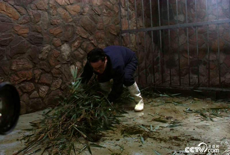 奶爸张粤正在清理兽舍里的竹子