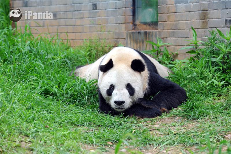 """传奇大熊猫""""盼盼"""""""