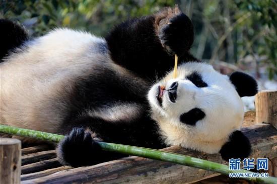 12月28日,一只大熊猫在阳光下进食。