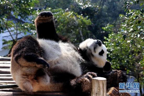 12月28日,一只大熊猫在阳光下玩耍。