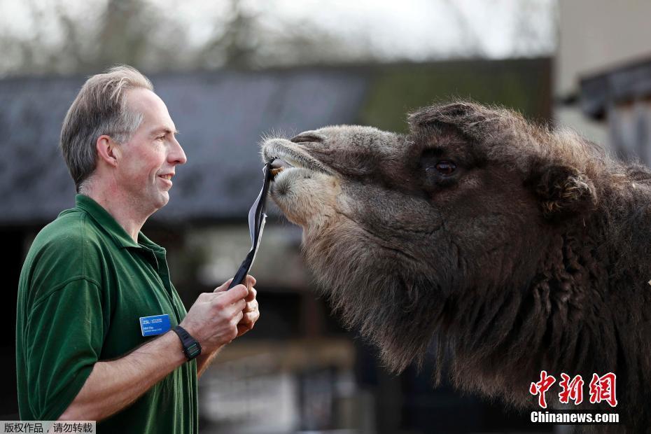 Un chameauet et son gardien Mick Tiley