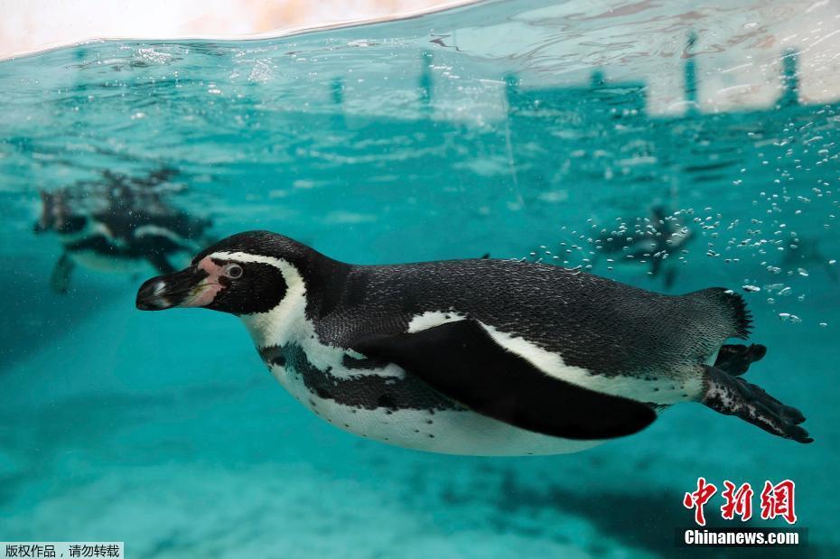 Un manchots de Humboldt plonge dans la piscine