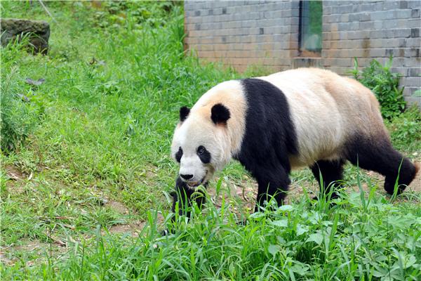 """大熊猫""""盼盼"""""""