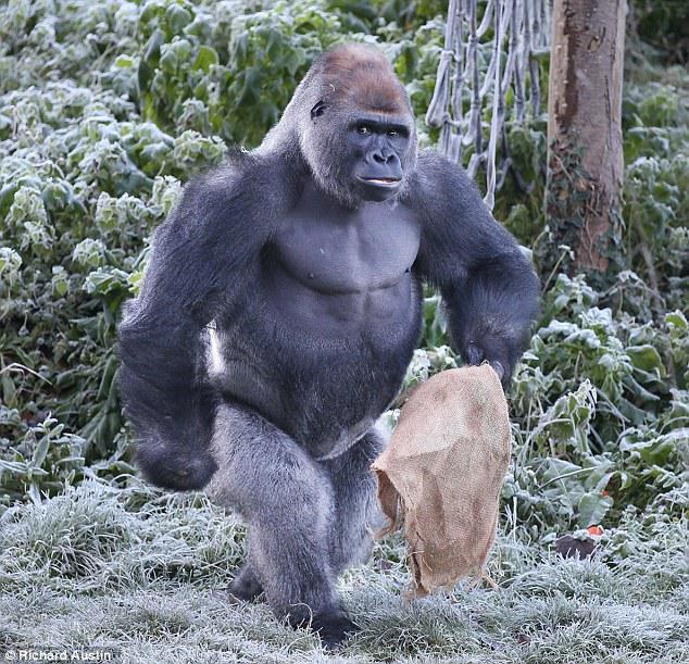 Un gorila hambre busca comida con saco de arpillera en frío