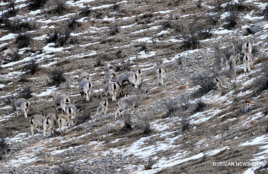 Зимняя жизнь диких животных в уезде Тяньцзюнь