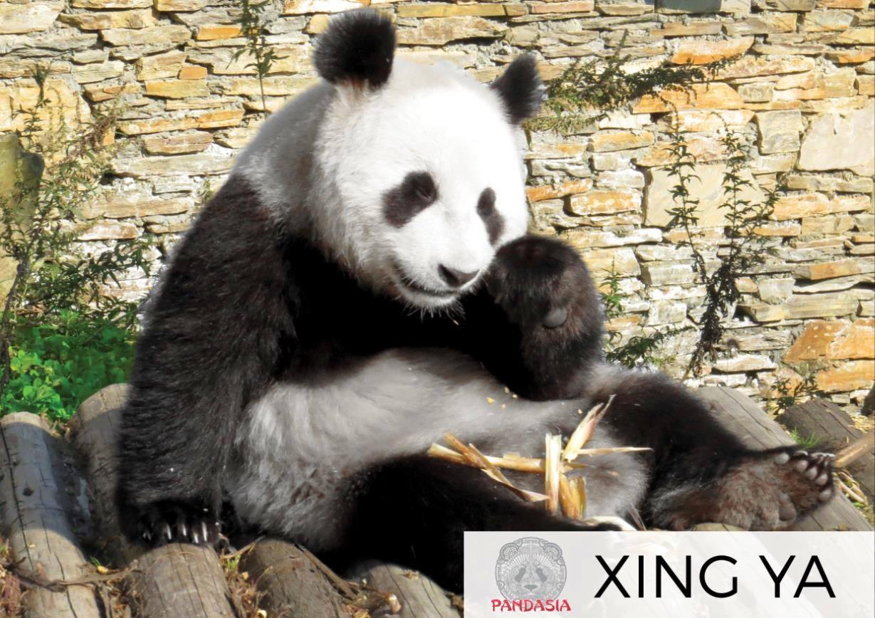 Les photos des deux pandas Wu Wen et Xing Ya, diffusés par le zoo d