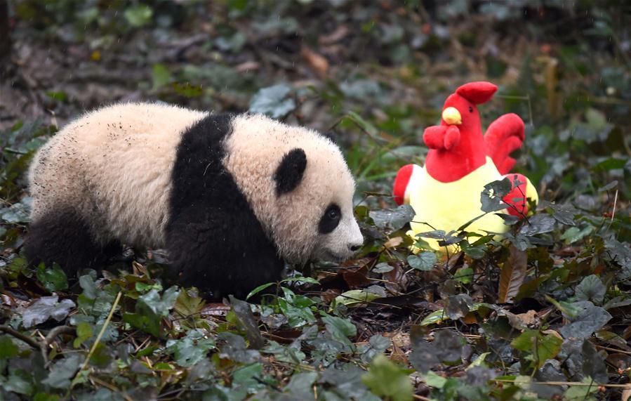 Photo taken on Jan. 11, 2017 shows a baby giant panda at the Ya
