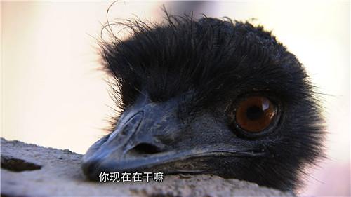 古老大鸟让他拒绝送上门的500万(2017.1.11)