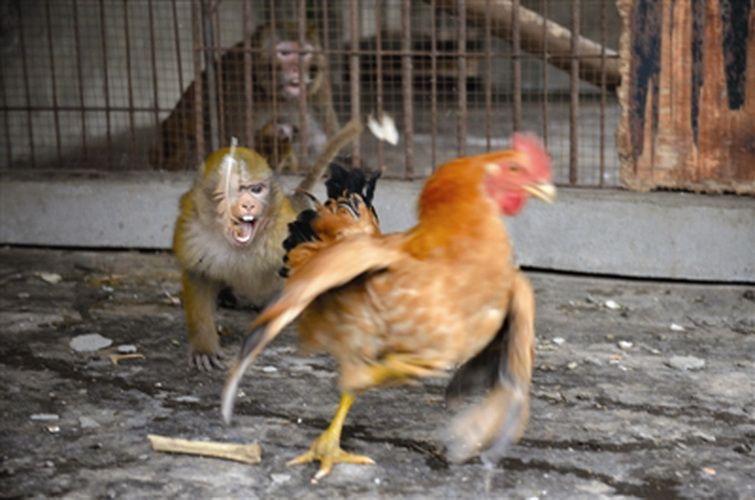 El mono ataca el gallo