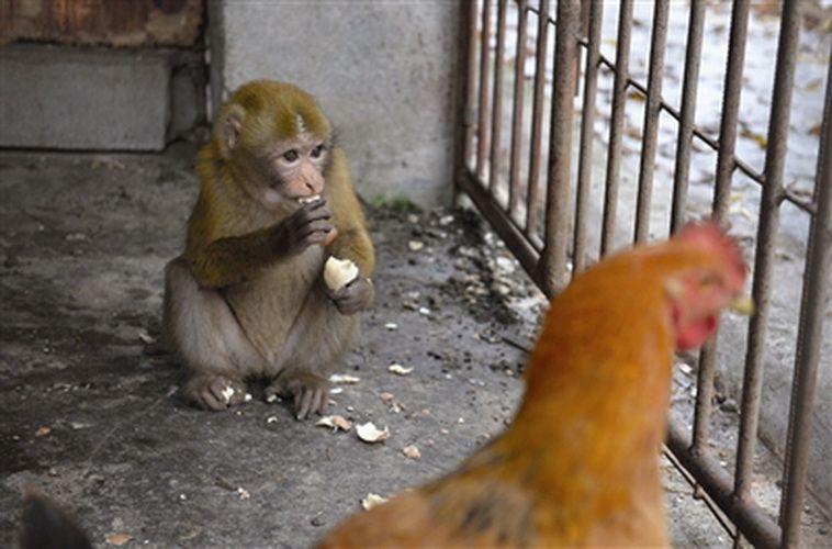 El mono se queda tranquilo y come un huevo