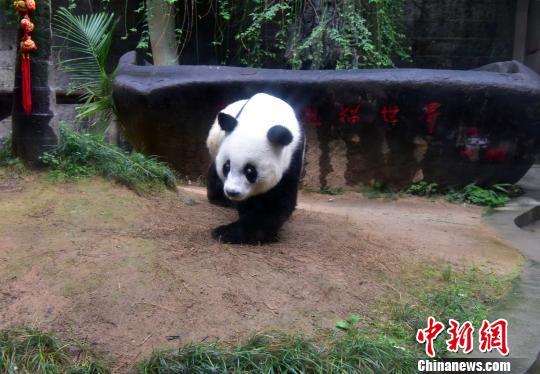 """现存圈养最高寿大熊猫""""巴斯""""将创世界吉尼斯记录"""