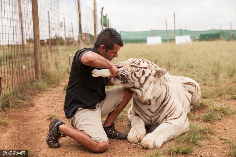 Justin da comida al tigre