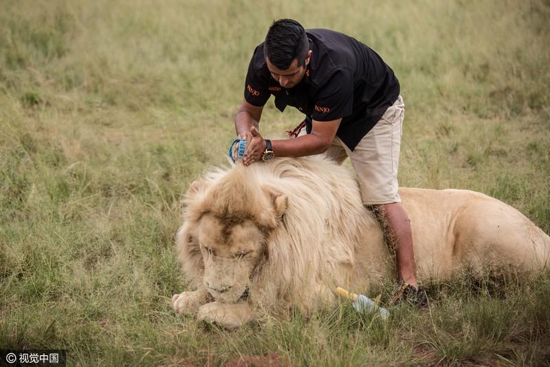 El hombre le peina los cabellos del león