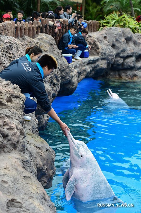 В чжухайском океанариуме появились 4 новых китайских белых дельфина