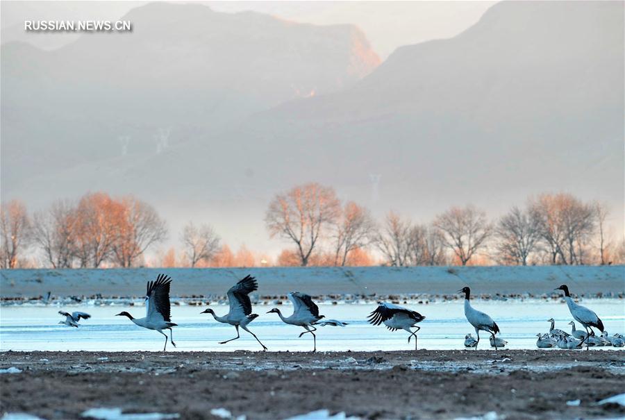 Зимний рай для черношейных журавлей