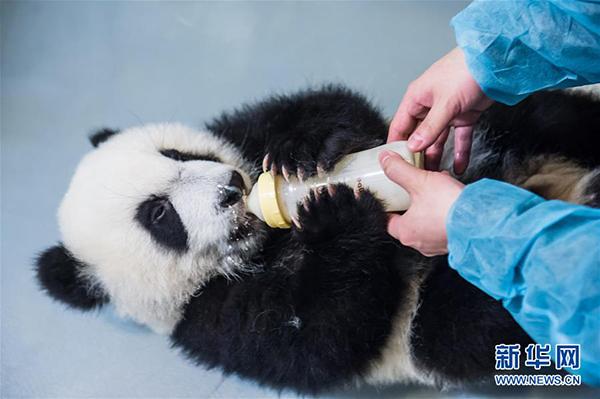 """饲养员给大熊猫""""健健""""喂配方奶粉"""