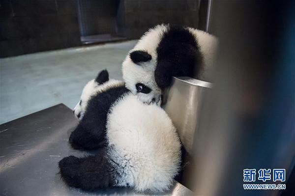 """大熊猫""""健健""""(左)和""""康康""""在玩耍"""