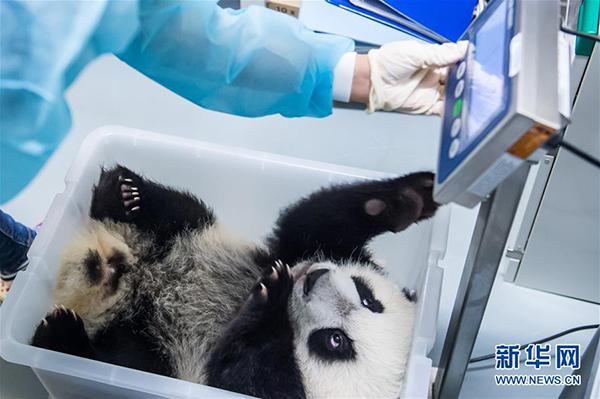 """饲养员为大熊猫""""康康""""称体重"""