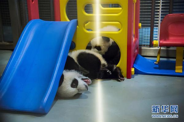 """大熊猫""""健健""""(后)和""""康康""""在玩耍"""