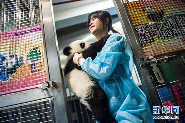 """饲养员抱着大熊猫""""康康"""""""