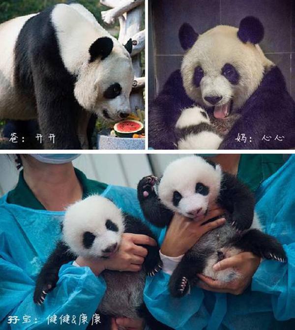 双胞胎熊猫一家四口