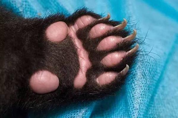 9月8日,肉乎乎的熊(猫)掌和尖利的小爪子。