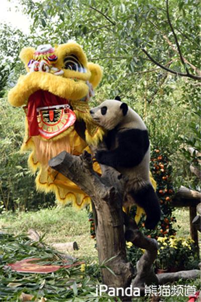 熊猫对舞狮充满好奇