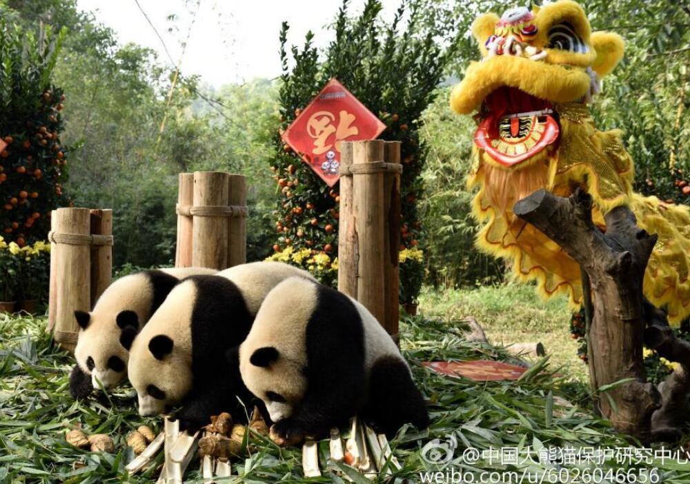 """近日,在中国大熊猫保护研究中心的组织邀请下,全国各地与保护研究中心开展大熊猫公众教育与科学研究合作的动物园张灯结彩,为大熊猫们营造一个新年氛围环境。在中国亚布力熊猫馆,工作人员特意剪出有大熊猫""""思嘉""""""""佑佑""""名字的窗花剪纸,让四川大熊猫过一个充满东北味的新年。在广州长隆野生动物世界,工作人员还特地为大熊猫三胞胎""""萌萌""""""""酷酷""""""""帅帅""""布置了舞狮,大熊猫舞狮给大家拜年。中国大熊猫保护研究"""
