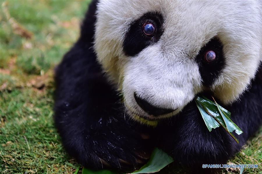 FUJIAN, enero 17, 2017 (Xinhua) -- El panda gigante Basi se alimenta con bambú en el centro de investigación e intercambio del panda, en Fuzhou, capital de la provincia de Fujian, en el sureste de China, el 17 de enero de 2017. Basi, la panda más longeva del mundo en cautiverio, cumple 37 años, un equivalente a más de 100 años humanos, Basi nació en 1980 en el condado de Baoxing, provincia de Sichuan, en el suroeste de China. Y ella fue el prototipo para la mascota Panpan para los Juegos Asiáticos de Beijing 1990. (Xinhua/Wei Peiquan)