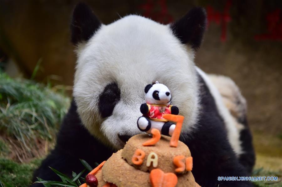 El panda gigante Basi permanece junto a su tarta de cumpleaños en el centro de investigación e intercambio del panda, en Fuzhou, capital de la provincia de Fujian, en el sureste de China, el 17 de enero de 2017. Basi, la panda más longeva del mundo en cautiverio, cumple 37 años, un equivalente a más de 100 años humanos, Basi nació en 1980 en el condado de Baoxing, provincia de Sichuan, en el suroeste de China. Y ella fue el prototipo para la mascota Panpan para los Juegos Asiáticos de Beijing 1990. (Xinhua/Wei Peiquan)