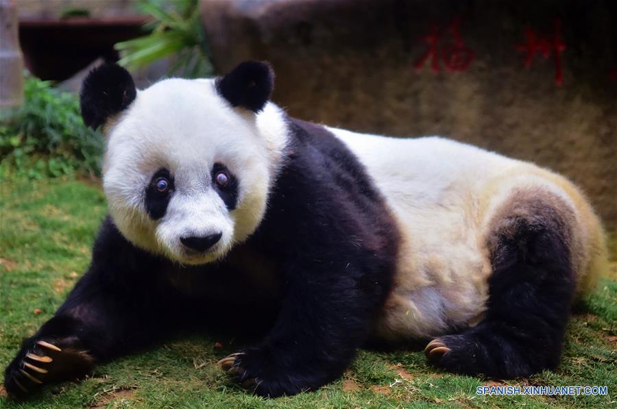 El panda gigante Basi permanece en el centro de investigación e intercambio del panda, en Fuzhou, capital de la provincia de Fujian, en el sureste de China, el 17 de enero de 2017. Basi, la panda más longeva del mundo en cautiverio, cumple 37 años, un equivalente a más de 100 años humanos, Basi nació en 1980 en el condado de Baoxing, provincia de Sichuan, en el suroeste de China. Y ella fue el prototipo para la mascota Panpan para los Juegos Asiáticos de Beijing 1990. (Xinhua/Wei Peiquan)