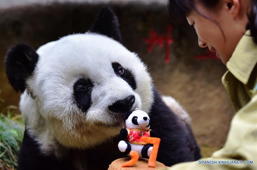 Una cuidadora alimenta al panda gigante Basi con una tarta de cumpleaños hecha especialmente en el centro de investigación e intercambio del panda, en Fuzhou, capital de la provincia de Fujian, en el sureste de China, el 17 de enero de 2017. Basi, la panda más longeva del mundo en cautiverio, cumple 37 años, un equivalente a más de 100 años humanos, Basi nació en 1980 en el condado de Baoxing, provincia de Sichuan, en el suroeste de China. Y ella fue el prototipo para la mascota Panpan para los Juegos Asiáticos de Beijing 1990. (Xinhua/Wei Peiquan)